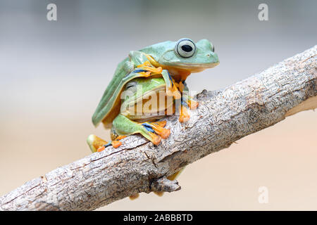 Two Wallace Flying Frog's on a branch, Kalimantan, Borneo, Indonesia - Stock Photo
