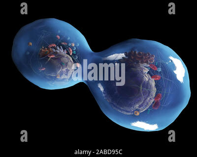 3d rendered medically accurate illustration of a dividing human cell - Stock Photo