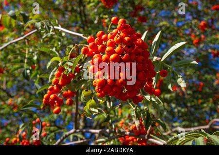 Vogelbeere (Sorbus aucuparia) - Stock Photo