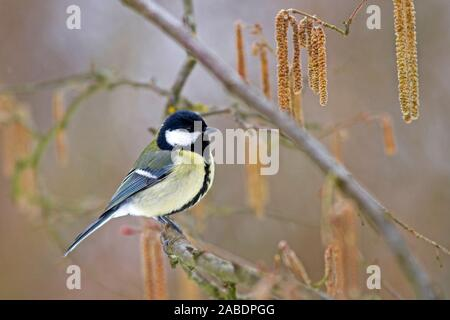 Kohlmeise (parus major) - Stock Photo
