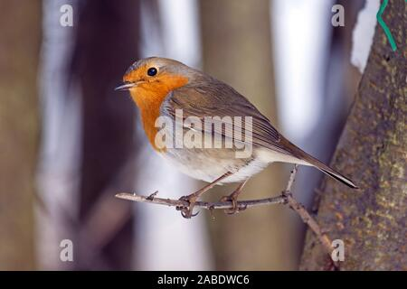 Rotkehlchen (Erithacus rubecula) - Stock Photo
