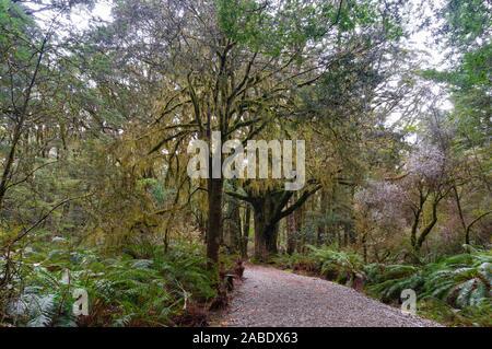Hiking path among rainforest and Thin-bark totara trees on foggy day. Mount Aspiring national park, New Zealand - Stock Photo