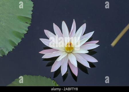 Close up of a blooming white water lily on the surface of a pond. The aquatic plant Nymphaea alba opens in the morning sun. Close up. - Stock Photo