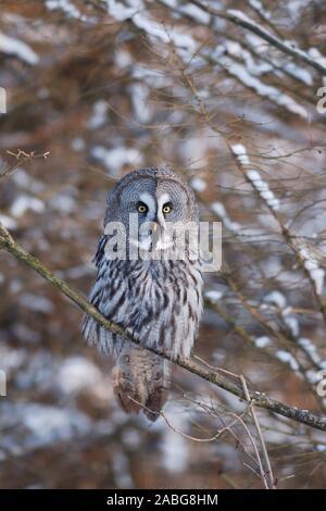 Bartkauz, (Strix nebulosa), Great Grey Owl, Baden-Wuerttemberg, Deutschland - Stock Photo