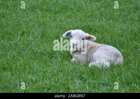 Newborn cute baby Welsh lamb lying down in grassy field looking towards the camera - Stock Photo