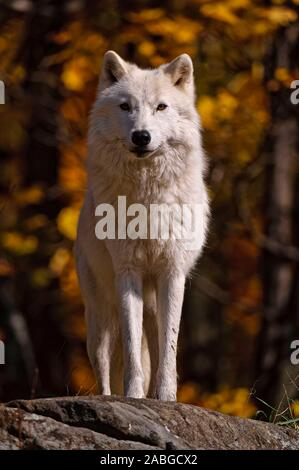 An Arctic Wolf standing looking forward. The background is the colours of autumn leaves. - Stock Photo
