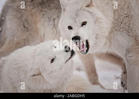 Two Arctic Wolves, one showing dominance by baring it's teeth to another subordinate wolf. - Stock Photo