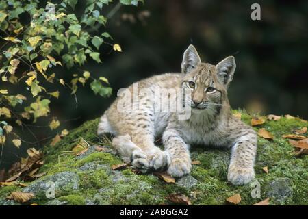 Europaeischer Luchs, European Lynx, Lynx lynx, Bayerischer Wald, Bavarian Forest, Deutschland, Germany, Jungtier, - Stock Photo