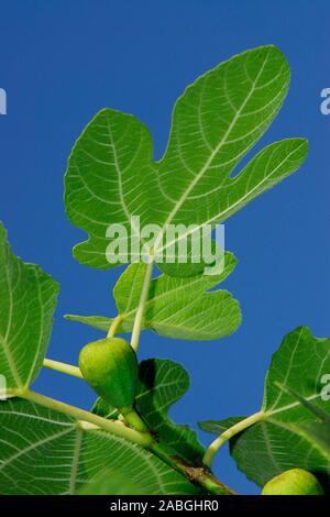 Feige am Baum, Feigenblatt mit Frucht, Echte Feige,Ficus carica, - Stock Photo