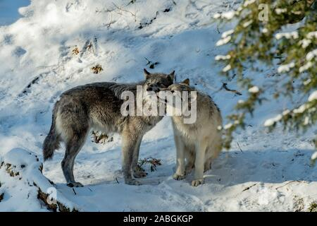 A pair of black Wolves showing affection to each other. - Stock Photo