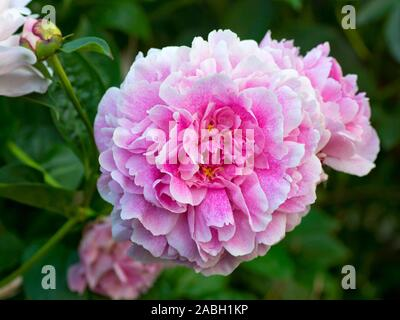 Peony  The Fawn. Double pink peony flower. Paeonia lactiflora (Chinese peony or common garden peony).