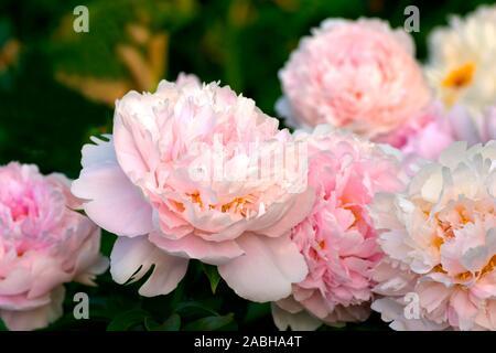 Paeonia Pillow Talk.  Double pink peony flower. Paeonia lactiflora (Chinese peony or common garden peony). Beautiful pink peonies.