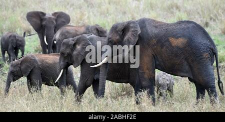 A family group of African elephant (Loxodonta  africana) of a variety of ages, covered in wet mud from a recent wallow and brown dust. Tarangire Natio
