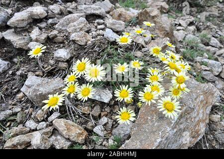 Iberian endemism plant, Leucanthemopsis pallida, with blooming yellow flowers in Fuenfría Valley (Cercedilla, Guadarrama National Park, Madrid, Spain) - Stock Photo