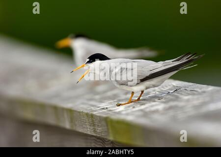 Sandwich Tern (Thalasseus sandvicensis),  Green Cay Nature Centre, Delray Beach, Florida, USA - Stock Photo