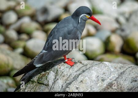 Inca Tern (Larosterna inca) resting on a rock - Stock Photo