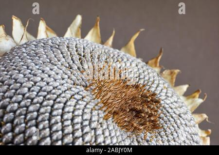 Close-up of a dry sunflower head with grey seed pattern and withered yellow and brown leaves against a dark background
