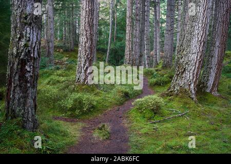 Douglas Firs on the Tweedmouth Trail at Plodda Falls, near Tomich, Strathglass, Inverness, Highland, Scotland. - Stock Photo