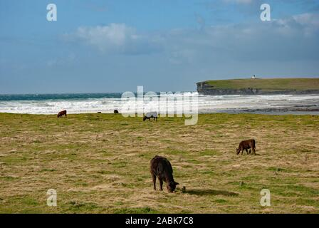 Cattle Grazing Green Pasture Stormy Sea Lighthouse Brough of Birsay Mainland The Orkney Isles Scotland United Kingdom five black one brown cow cows gr - Stock Photo