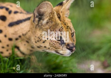 A Portrait of a Serval savannah cat sitting in the green grass and looking to the righ. Black dotted beige brown big wild cat - Stock Photo