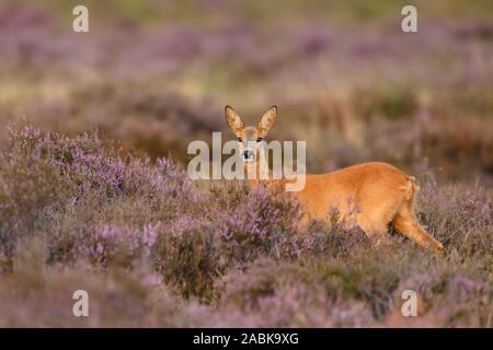 Roe Deer ( Capreolus capreolus ), female, doe, standing in violett blooming / blossoming heather, watching attentively, wildlife, Europe. - Stock Photo