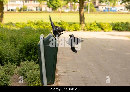 Two black jackdaw birds fighting over food laying in the trash bin outside on a sunny day in a green environment park with a grassfield in the backgro - Stock Photo