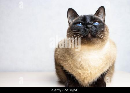 Siamese cat looking up on the white background, blue eyes - Stock Photo