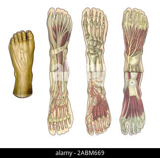 Medicine and healthcare illustrated table, human foot anatomy: skin and ectodermal tissues, bones, muscles nerves, blood vessels - Stock Photo