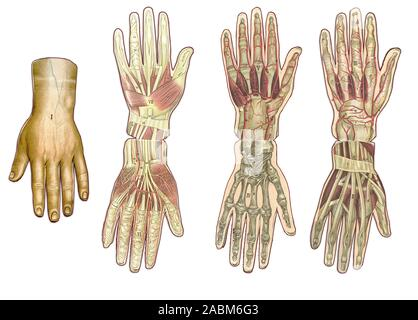 Medicine and healthcare illustrated table, human hand anatomy: skin and ectodermal tissues, bones, muscles nerves, blood vessels - Stock Photo