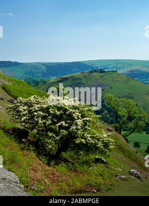 View S from Creigiau Eglwyseg looking over a hawthorn to Castell Dinas Bran Iron Age hillfort & Medieval castle in the Vale of Llangollen, Wales, UK. - Stock Photo