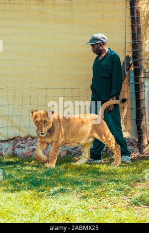 African keeper releasing two 8 month old junior lions from their enclosure to take a walk and play with them - Colin's Horseback Africa, South Africa - Stock Photo