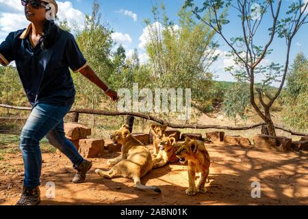 African woman fleeing from a pride of 4 month old playful lion cubs (Panthera leo) near Cullinan, South Africa