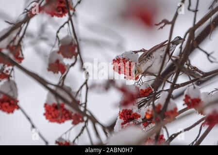 Cute bird fieldfare (Turdus pilaris) on a rowan branch with red berries and snow in winter