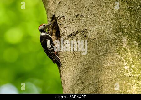 Middle Spotted Woodpecker ( Leiopicus medius ) perched at the nesting hole of a Black Woodpecker, wildlife, Europe. - Stock Photo
