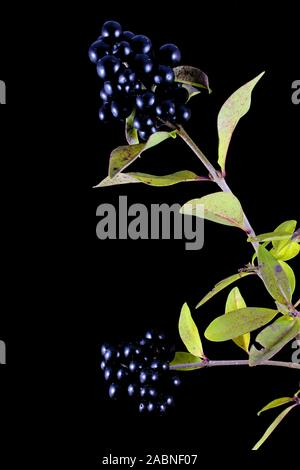 Branch with wild privet berries in front of black background - Stock Photo