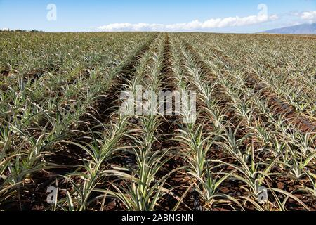 rows of young juicy pineapples growing in field - Stock Photo