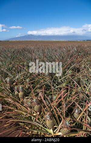 field of juicy ripe pineapples ready for harvest with blue skies in background - Stock Photo