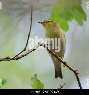 Wood Warbler / Waldlaubsänger ( Phylloscopus sibilatrix ), male in breeding dress, perched on a branch of an oak somewhere in the woods, typical view, - Stock Photo