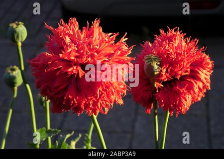 Red double flowered poppies (Papaver somniferum) are illuminated by the light of the setting sun. Beautiful flowers against a dark background. - Stock Photo