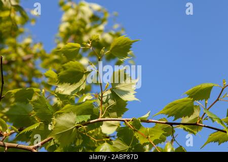 Mongolian Lime (Tilia mongolica) urban tree, London, UK - Stock Photo