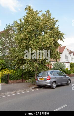 Mongolian Lime (Tilia mongolica) urban tree in flower, London, UK - Stock Photo