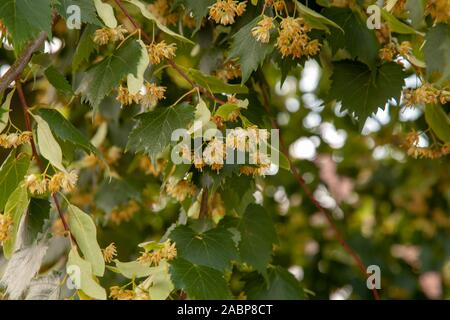 Mongolian Lime (Tilia mongolica) urban tree leaves and flower details, London, UK - Stock Photo