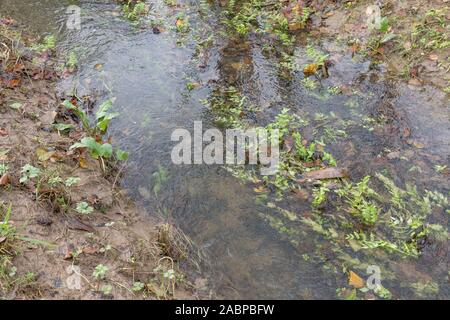 Patch of weeds blocking farmland drainage channel. Believed to be Lesser Water-Parsnip / Berula erecta. Obstruction concept, blockage, overgrown. - Stock Photo