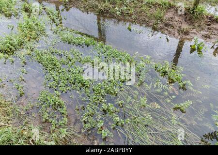 Brooklime / Veronica beccabunga leaves growing in flooded freshwater drainage ditch. Foraged & survival food containing Vitamin C. Once used in cures - Stock Photo