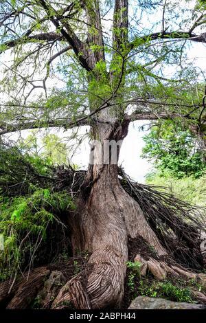 árbol , tree . Reserva Monte mojino - Stock Photo