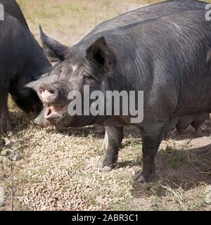 Berkshire black pigs in an organic piggery - Stock Photo