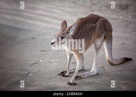 Australian kangaroo on the beach at sunrise close up - Stock Photo
