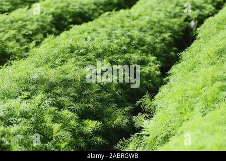 Eupatorium capillifolium / green organic dill plants grows in farm garden , asparagus field - Stock Photo