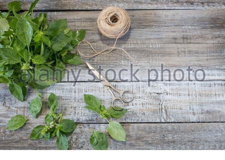 Basil background. Large green aromatic Mediterranean basil leaves on white wooden background with place for text. Bunch fresh basil on a wooden backgr - Stock Photo