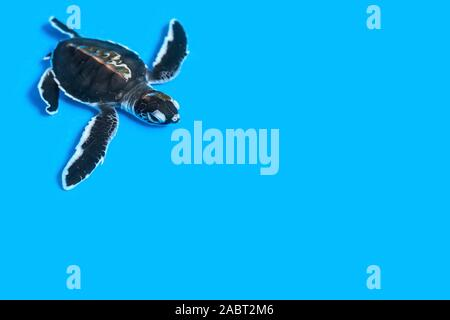 Small purposeful turtle in water on a gentle blue background with copy space. Protection of the population. Young turtles under the supervision of the - Stock Photo
